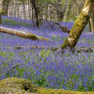 Portumna Forest Park Guide to Woodland Flora